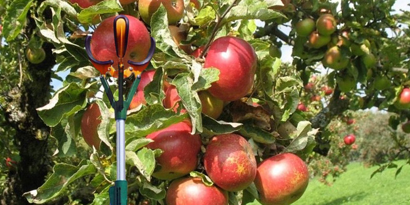 Review of Zenport ZL6146B Long Reach Telescopic Fruit Harvester and Picker