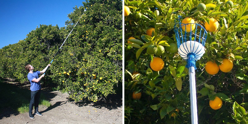 Review of Eversprout Fruit Picker with High-Grade Aluminum Extension Pole